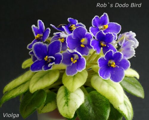 Rob/'s DODO BIRD 2 Feuilles//Leaves African Violet Saintpaulia