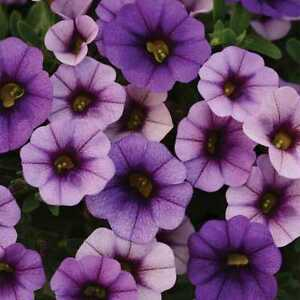 Calibrachoa-Seeds-Kabloom-Seeds-25-Pelleted-Seeds-Denim