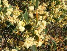 Acacia myrtifolia - Myrtle Wattle 15 seeds