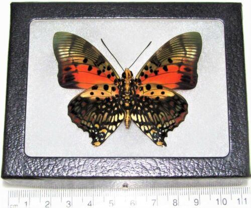 Charaxes zingha REAL FRAMED BUTTERFLY PINK RED AFRICA