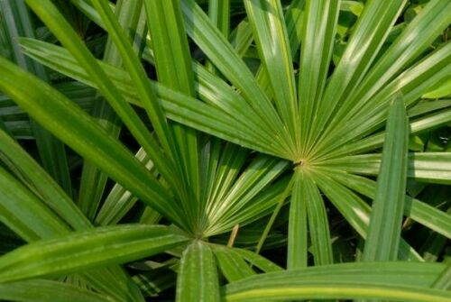 Japanese Peace Palm Rhapis excelsa จั๋ง *UNCLE CHAN* seed Lady palm