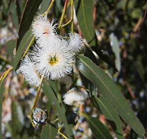 Huile-essentielle-d-039-Eucalyptus-citronne-500-ml