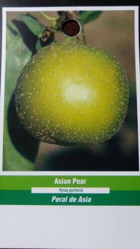4/'-5/' ASIAN PEAR Tree Natural Fruit New Plants Healthy Trees Pears Plant Garden