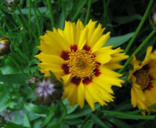 Mädchenauge Coreopsis lanceolata Sterntaler Sommerblüher
