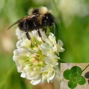 Klee-von-Die-Glueck-Weiss-1100-Saatgut-Gruen-Klee-Trifolium-Repens-Bienen