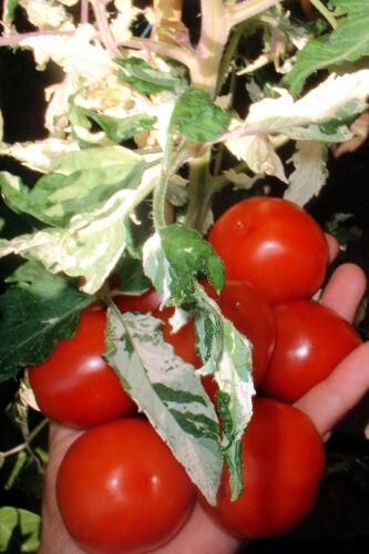 Stabtomate Rarität * samenfest Tomate Iris/'s Magic 10 Korn* frisch