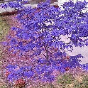 10-stuecke-Seltene-Blaue-Ahorn-Samen-Ahorn-Samen-Bonsai-Baum-Pflanzen-Haus-G-F6Y9