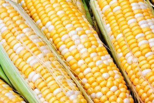 Sweet Corn Seed FREE SHIPPING!!!!! Jackpot Sweet Corn  Seeds  Fresh Seed