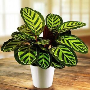 100Pcs-Calathea-Bonsai-Air-Seeds-Plants-Freshening-Flowers-Office-Rare-Beautiful