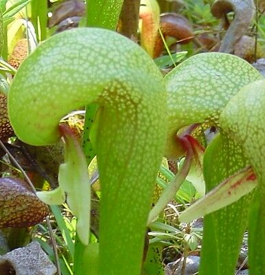 Kobralilie - Darlingtonia californica - 10 Samen - fleischfressende Pflanze