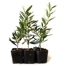 Tree of Peace Olive Tree-Olea Europaea 4 Pound (Pack of 6) Plant Garden Best Gif