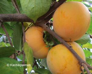 Diospyros-KAKI-039-Vanilla-039-Kakibaum-winterharte-Pflanze-150-180cm-Vaniglia