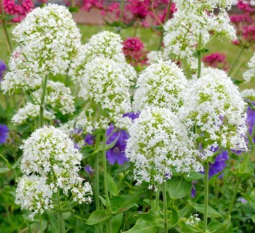 Valériane des Jardins BLANCHE Centranthus Ruber Albus White Valerian 100 Graines