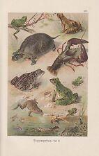 Schildkröte Laubfrosch Flusskrebs CHROMOLITHOGRAPHIE um 1900 Kaulquappen Frösche