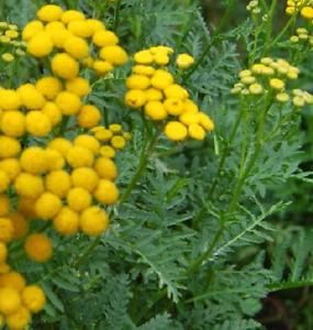 TANAISIE VULGAIRE tanacetum vulgare Tanaisie vulgaire 5000 graines