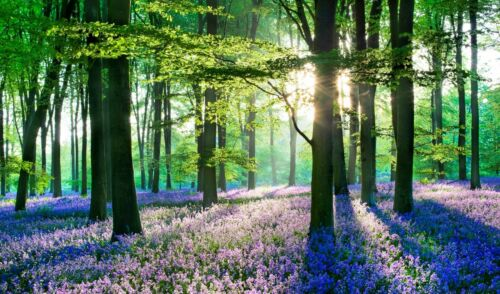 BLUEBELL WOODS WOODLAND FOREST CANVAS PICTURE POSTER PRINT UNFRAMED #678