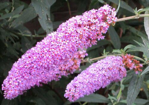200 semi Farfalla Lillà calamita per farfalle Buddleja davidii