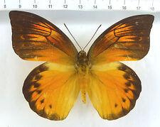 Hebomoia leucippe ssp.detanii Hybride W ex Peleng-Island, Indonesien    n619
