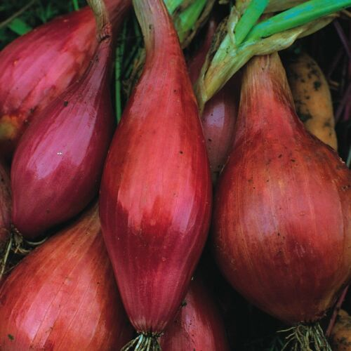 Vegetable-onion Long Red Florence Min 200 seeds