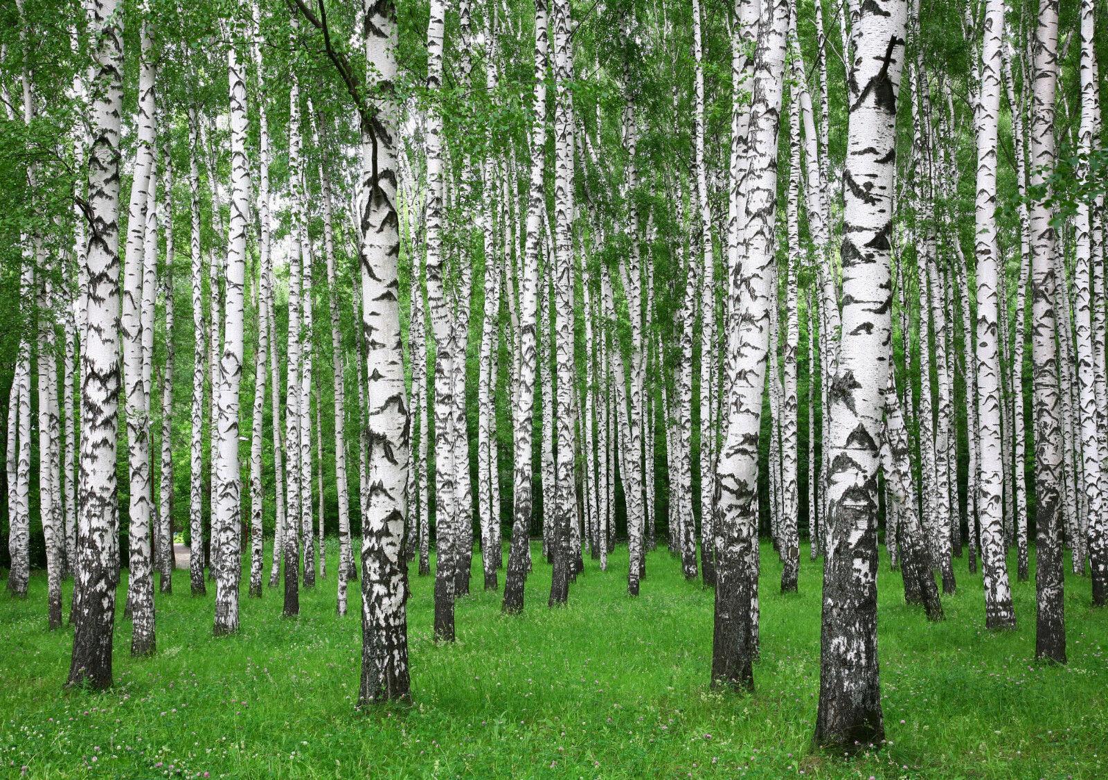 Fototapete-BIRKEN WALD-(390P)-350x260cm-7Bahnen 50x260cm-Blumen Bäume Sommer XXL