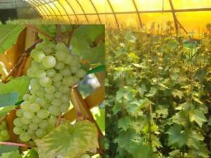Vitis-vinifera-Lakemont-kernlos-Weinrebe-Tafeltraube-Wein-Weintraube-Winzersorte