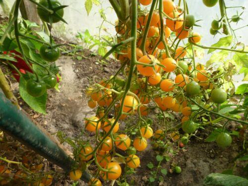 10 Gelbe Cherry Tomaten Stück Samen