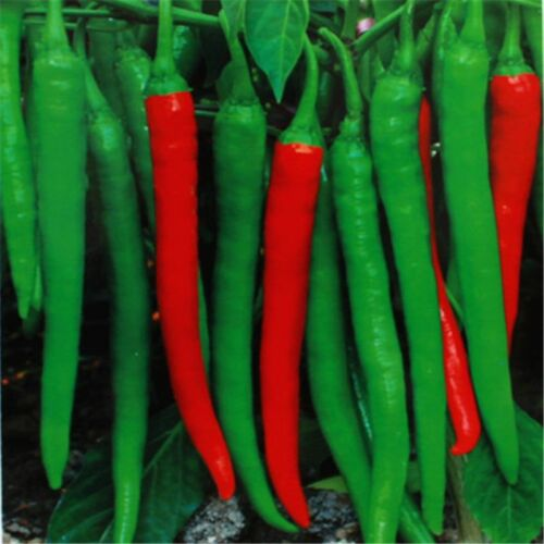 """500PC Popular Giant Hot Spices Spicy Red Chili Pepper Seeds Plants Up To 20/"""" TR"""