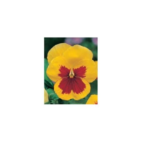 Viola x wittrockiana 320 samen Stiefmütterchen-rote gelbe Samen