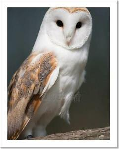 Barn Owl On Perch Art Print Home Decor Wall Art Poster - F ...