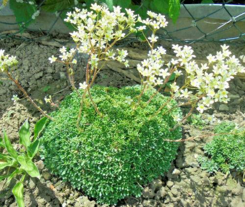 perenne Saxifraga paniculata /'custodisce/' inverno dura pietra Giardino-pianta