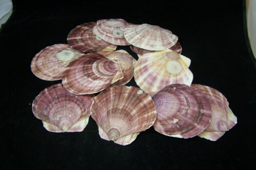 """5 Beautiful Pink Purple Flat Scallop Shells Sea Shell Seashell 4/"""" to 4 3//4/"""""""