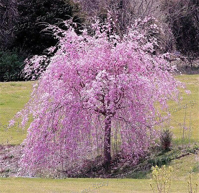 20 Pink Fountain Weeping Cherry Tree Seeds DIY Home Garden Dwarf Tree Romantic