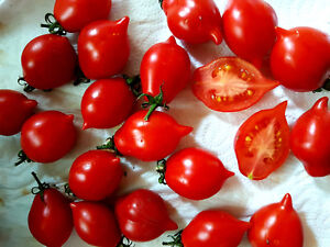 Wintertomate-034-Winterkeeper-034-Tomate-klein-rot-ueber-Monate-lagerfaehig
