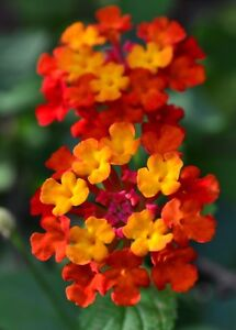 10 plantsntana dallas red red yellow flowering bush live image is loading 10 plants lantana 034 dallas red 034 red mightylinksfo