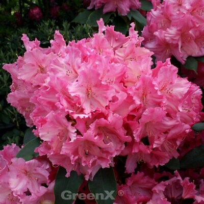 Großblumige Rhododendron Peggy 25-30cm Alpenrose INKARHO