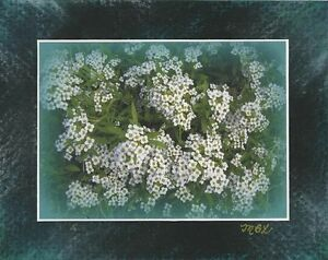 ARTISAN SWEET WHITE ALYSSUM FLOWERS SIGNED ARTIST PRINT W/ ORIGINAL PASTEL ART