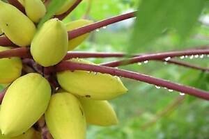 Golden PAPAYA Seeds, Dwarf, Delicious sweet Unique RARE Carica, Kamiya  semillas