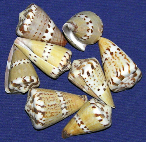 Captains-Cone-Conus-Capitaneus-1-1-2-034-Craft-Seashell-Supply-Select-3-6-12-Pcs