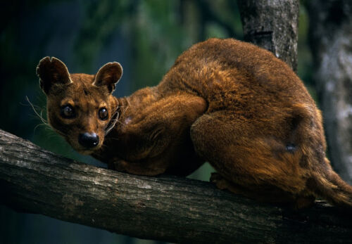 CANVAS Fossa Perched on a Tree Limb Art print POSTER