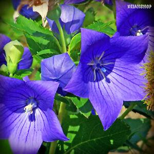 Fiori Viola.Semi Fiori Viola Platycodon Campanula Giapponese Violetta Perenne