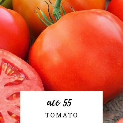 Free Shipping Ace 55 Tomato Seeds 50 Seeds,HEIRLOOM ORGANIC,NON GMO,USA SELLER