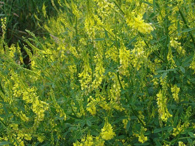 Clover- Yellow Sweet- 200 Seeds
