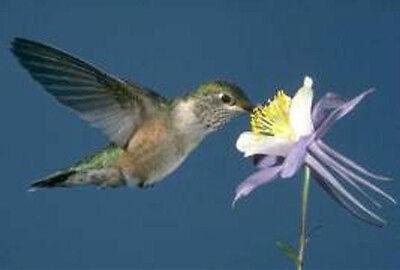 Columbine Blue Star Perennial 25 Fresh Seeds Hummingbirds Butterflies!