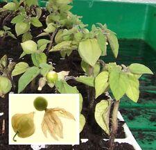 Ananas-Kirsche Pflanzen Obst Gemüse für den Topf Balkon Zimmerbäume Zimmerpalme