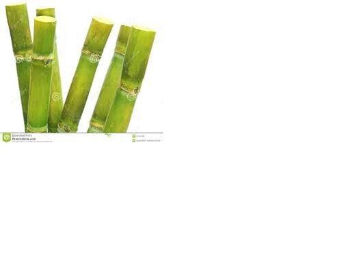 Perenne caña orgánica caña de azúCoche 13 palos Amarillo verde 7 pulgadas de cada