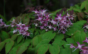 Epimedium-grandiflorum-Purple-Pixie-perennial-plant-ideal-ground-cover-9cm-pot