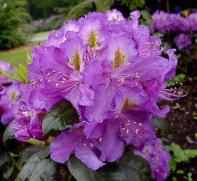 Rhododendron großblumige Hybride Hachmann/'s Charmant 30-40cm Frühlingsblüher