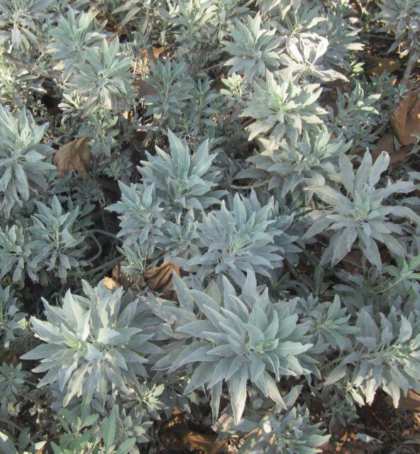 SACRED SAGE * CALI WHITE SAGE * Salvia apiana * FRAGRANT * SMUDGE * HERB SEEDS