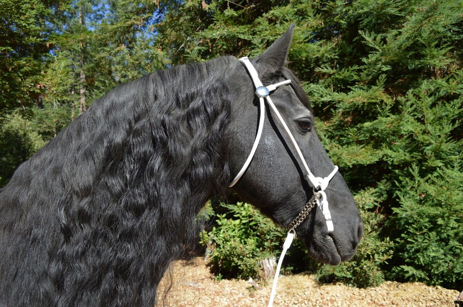 ROLLED WHITE LEATHER IN HAND HALTER BRIDLE COMBO +LEAD Friesian Horse Inspection