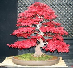 Rare Shin Deshojo Japanese Maple Tree Seeds Acer Palmatum Great